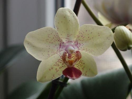 Неземна краса орхідеї