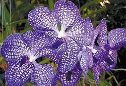 Ніжна орхідея ванда для композицій