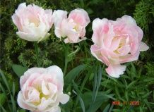 Нікітський ботанічний сад представив відвідувачам 120 сортів тюльпанів