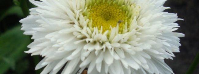 Ромен (поповник: опис, розмноження, догляд, посадка, застосування в саду, фото, сорти і види