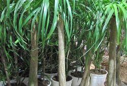 Ноліна: екзотичний догляд за «пляшковим деревцем»