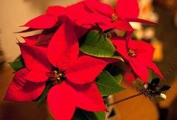 Новорічна різдвяна зірка: сорти та особливості догляду