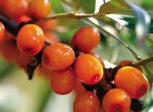 Обліпиховий «хліб щастя» та інші сюрпризи ягоди