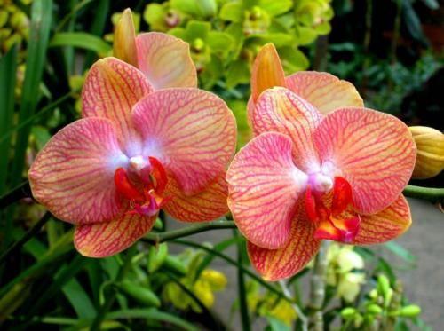 Звабливий квітка фаленопсис