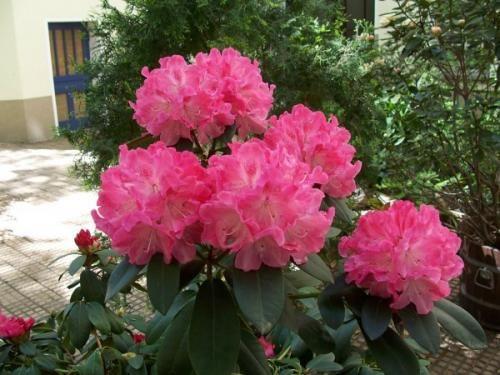 Обрізка азалій необхідна для тривалого цвітіння