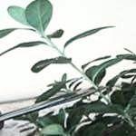 Обрізка кімнатних рослин