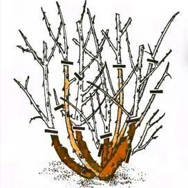 Мал. 4. Обрізка троянд флорибунда
