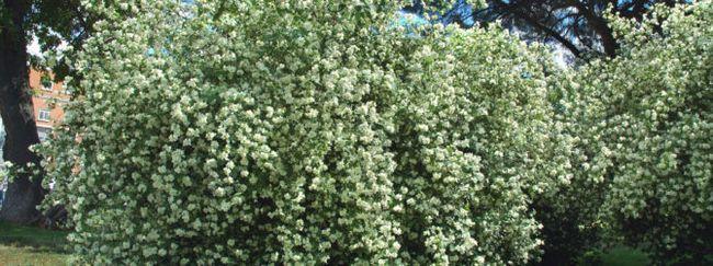 Обрізка весеннецветущих чагарників