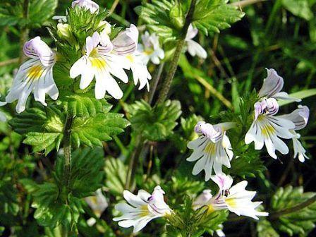 Очанка лікарська: особливості вирощування в саду