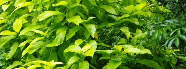 Ода для декоративно-листная рослин