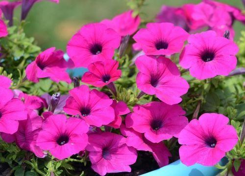 Петунія - однорічні квіти
