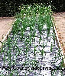 Мульчування. Садова чорна плівка в якості мульчі (мульчують матеріалу) на піднятій грядці з цибулею