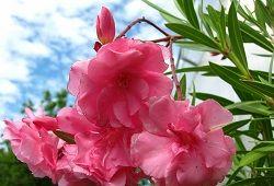олеандр цвітіння