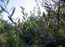 Оливкова деревце і без оливок?