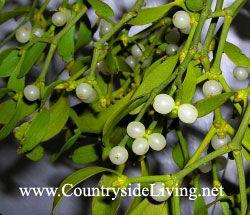 Омела, омела біла (mistletoe)