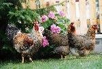 Омфаліт - пупкової-желточная інфекція у молодняку   птахів