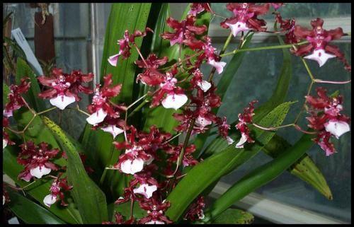 Онцидіум - орхідея в вашому домі