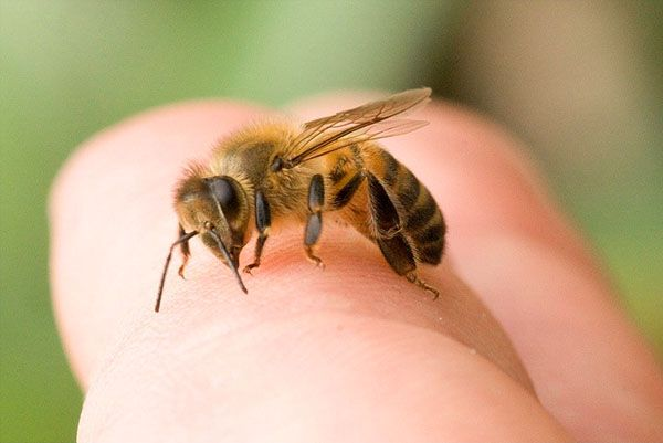 Небезпека укусу бджоли і перша долікарська допомога