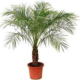 Опис і фото фінікової пальми