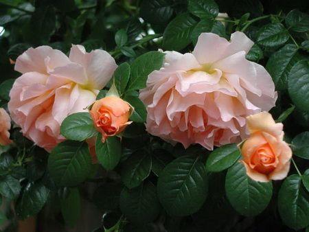 Досвід вирощування троянд і гладіолусів