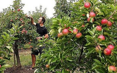 Яблуні вирощені з насіння
