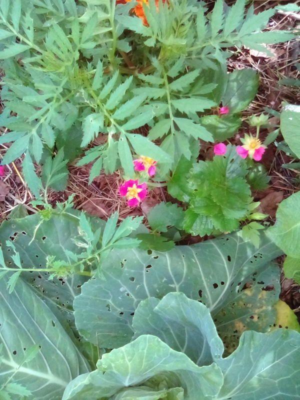 Органічне землеробство ем препарати, мульчування, змішані посадки і трав`яні настої рік перший