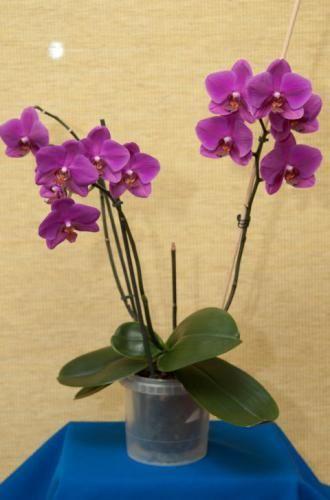 Орхідеї - примхливі домашні кімнатні рослини