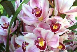 Орхідея цимбидиум: поради по догляду