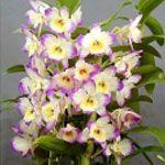 Орхідея дендробиум нобілі