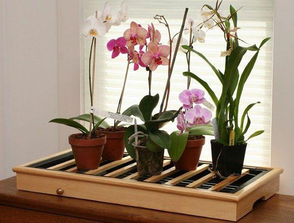 Для успішного розвитку і цвітіння орхідеї фаленопсис потрібні особливі умови