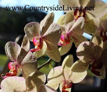 Квітучий фаленопсис - одна з найкрасивіших і легких у догляді орхідей