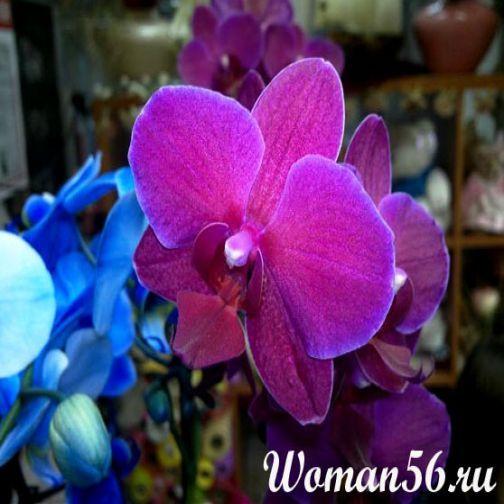 Орхідея Фаленопсис - догляд в домашніх умовах
