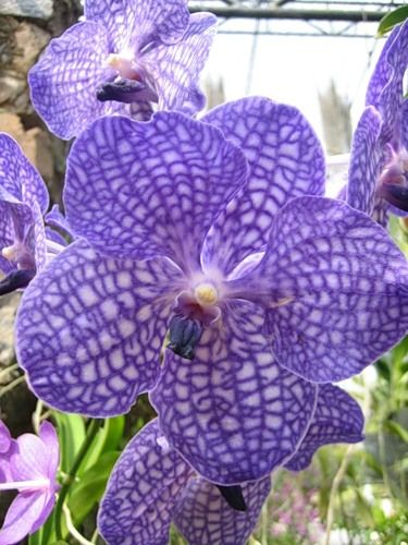 Орхідея блакитна носить назву - ванда