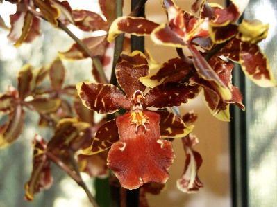 Орхідея камбрія: догляд і вирощування