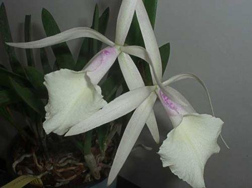 Орхідея каттлея - гібридні і природні види