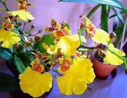 орхідея в домашніх умовах