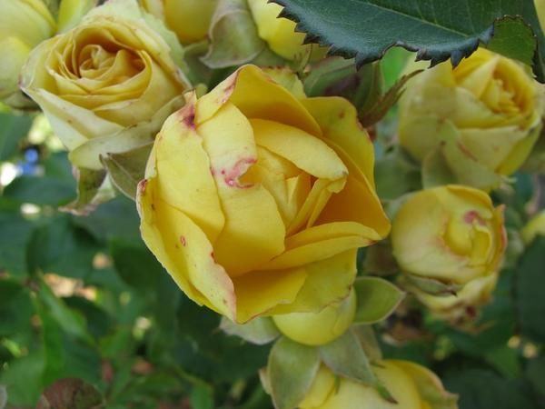 троянди восени