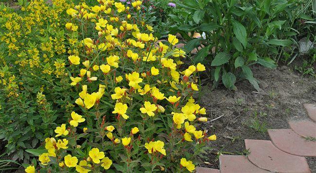 Особливості посадки і вирощування багаторічної енотери