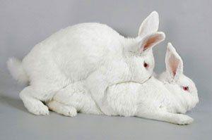 Особливості проведення спаровування кроликів