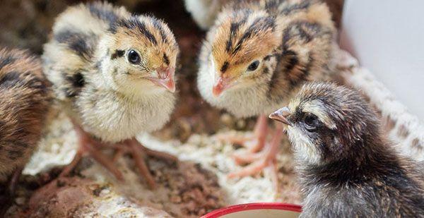 Пташенятам потрібен комбікорм, багатий на білки