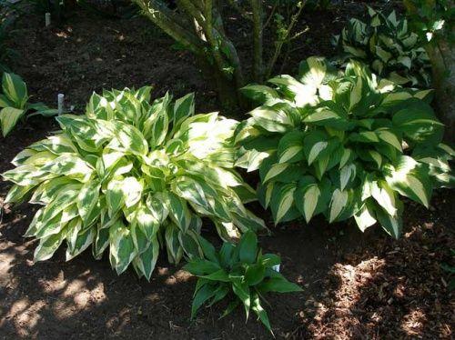 Особливості вирощування хости в саду, посадка і догляд