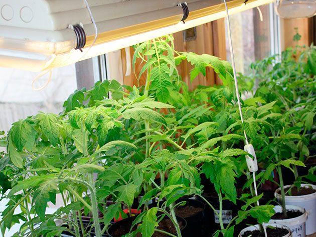 Досвечіваніе овочів флуоресцентними лампами
