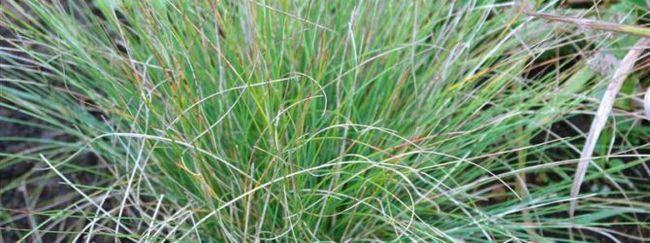 Костриця: опис, розмноження, догляд, посадка, застосування в саду, фото, сорти і види