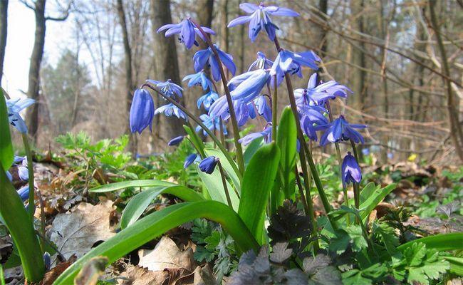 Проліска сибірська, перша весняна квітка
