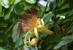Пахира акватика - деревце з ванільним ароматом