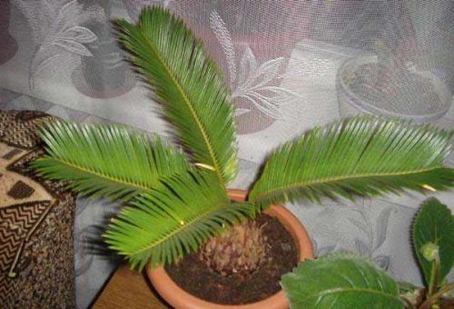 Пальма цикас: догляд і вирощування для початківців квітникарів
