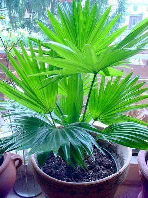 Пальма ливистона - екзотика прямо в будинку