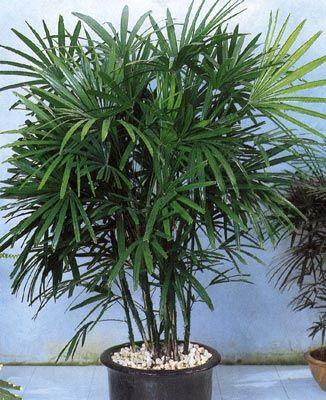 Пальма на підвіконні