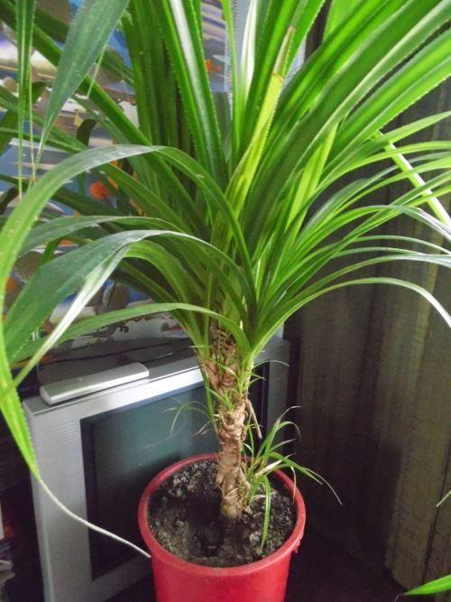 Панданус або гвинтова пальма