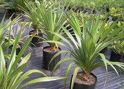 Панданус: догляд за гвинтовий пальмою